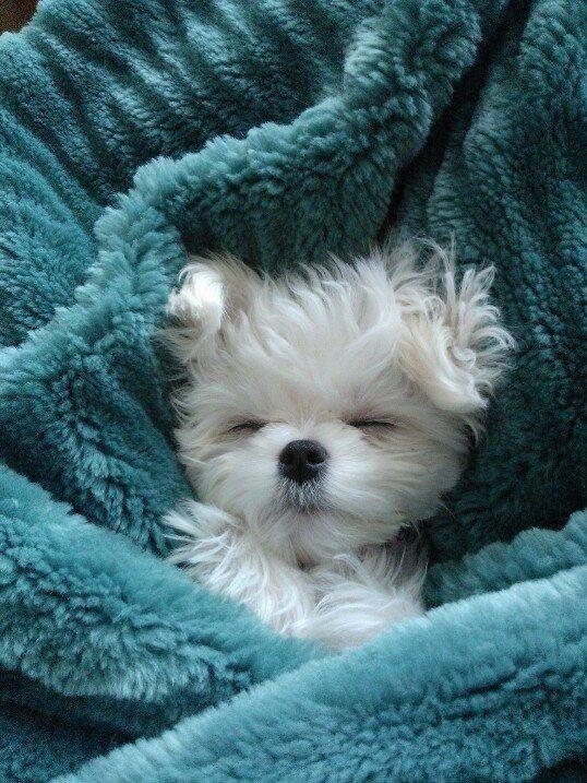 gripe canina, verdades y mentiras